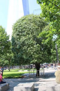 photograph of Survivor Tree from the World Trade Center Memorial in NYC